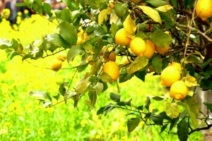 河津の檸檬0043