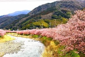 峰の方河津川沿い桜0051