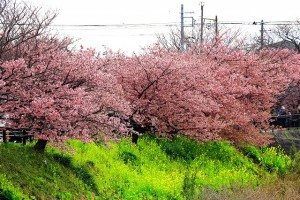 菜の花と桜0003