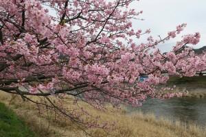 河津桜1227
