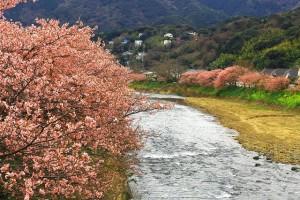 峰・河津桜