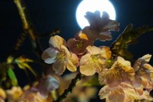 ⑤夜桜と月1145