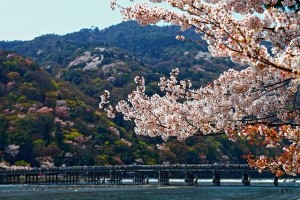 嵐山桜絵画調