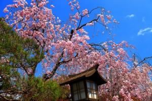 嵐山のしだれ桜