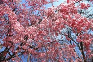 彦根城しだれ桜