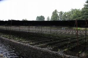 わさび農場IMG_0176