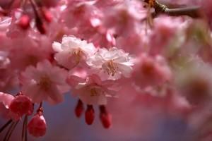 彦根しだれ桜IMG_0092