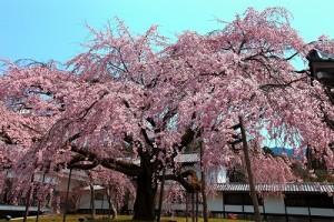 醍醐太閤桜_0134