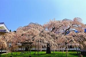 醍醐桜グラフィック