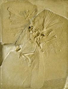 始祖鳥の化石